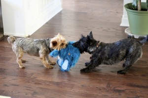 Dogs playing with Blue Sole Toy