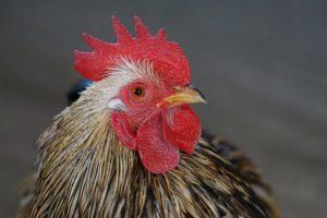 chicken-1165108__340